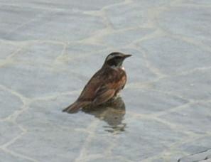 水浴びをする小鳥 2