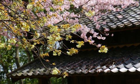20160406ukon_sakura.jpg