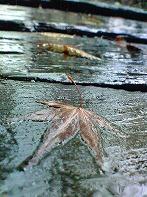 雨にぬれる落ち葉